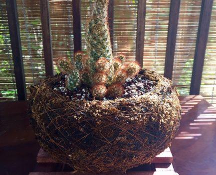 El Cactus Dedos de Señora