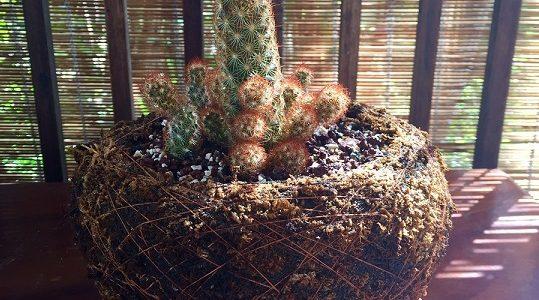Cactus Dedos de Señora