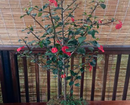 La Planta Sombrero Chino