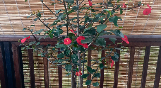 Planta Sombrero Chino