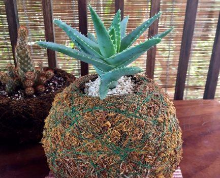 El Aloe de Hoja Corta